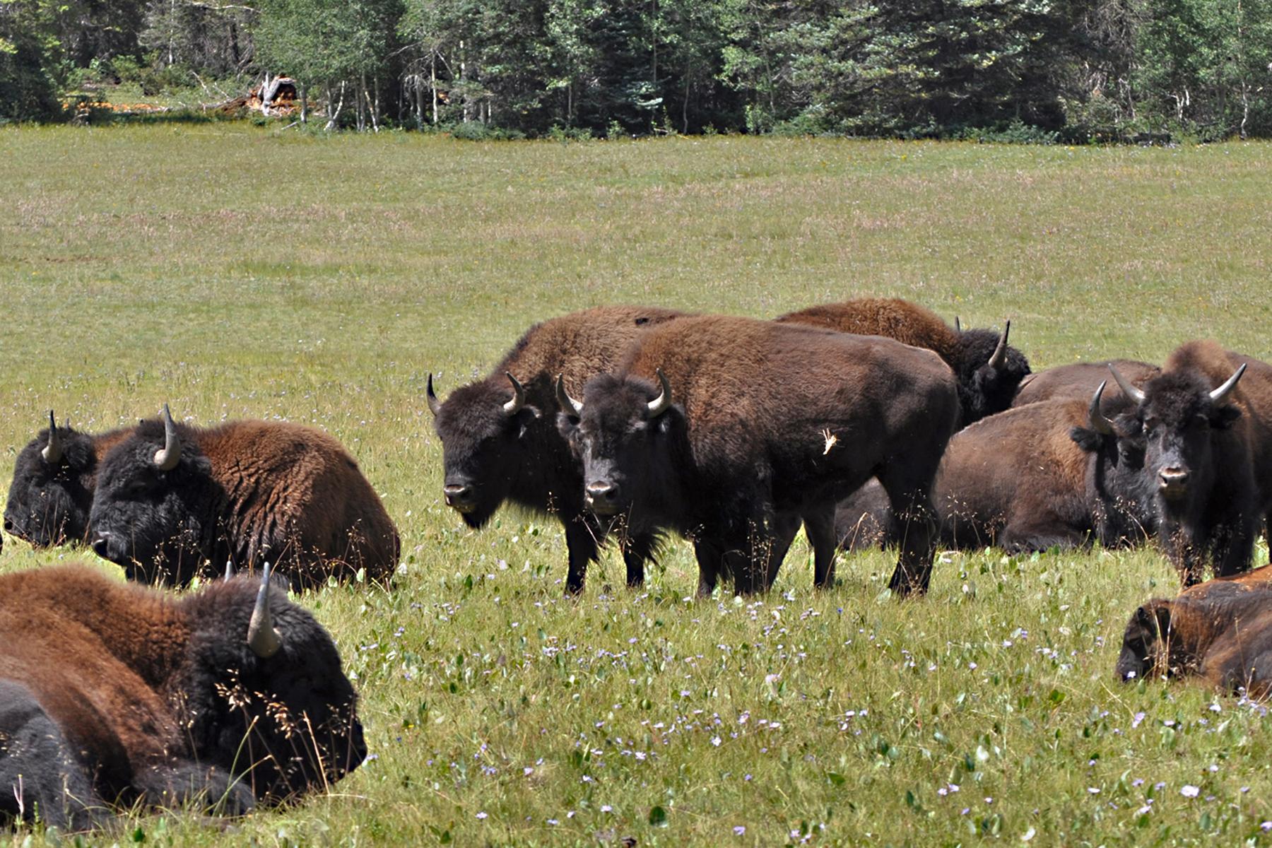 Houserock Valley Bison Herd